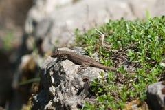 蜥蜴在岩石取暖 免版税库存图片