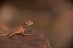 蜥蜴在岩石的焦点 库存照片