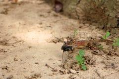 蜥蜴在庭院里吃昆虫 免版税库存图片