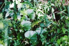 绿蜥蜴在庭院里 免版税图库摄影