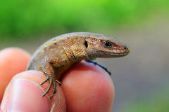 蜥蜴在我的手上 图库摄影