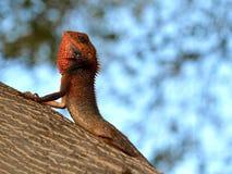 蜥蜴在毛里求斯 免版税库存图片