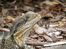 蜥蜴在澳大利亚 库存图片