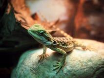 蜥蜴在石头关闭的鬣蜥科螺旋 免版税库存图片