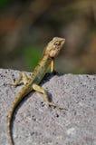 蜥蜴在石头滑行 库存照片