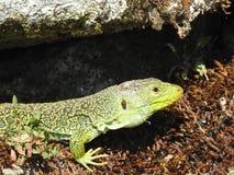 蜥蜴在阳光下 免版税图库摄影