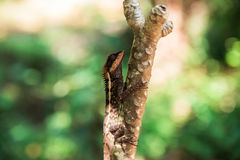 蜥蜴在Khao Sok密林在泰国 库存图片