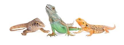 蜥蜴垂直的横幅的三种类型 图库摄影