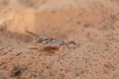 蜥蜴壁虎 免版税库存照片