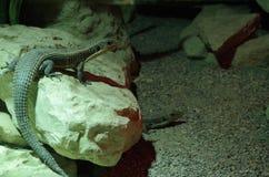 蜥蜴夫妇 库存图片