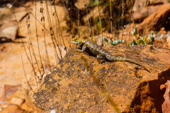 蜥蜴岩石晒黑 图库摄影
