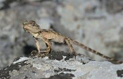 蜥蜴拉丁laudakia名字担任主角stellio 免版税图库摄影