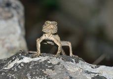 蜥蜴拉丁laudakia名字担任主角stellio 免版税库存图片