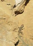蜥蜴拉丁laudakia名字担任主角stellio 免版税库存照片