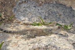 蜥蜴拉丁laudakia名字担任主角stellio 库存照片