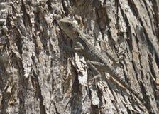 蜥蜴拉丁laudakia名字担任主角stellio 图库摄影