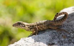 蜥蜴星期日 库存图片