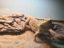 蜥蜴最佳的动物photomodel 库存图片