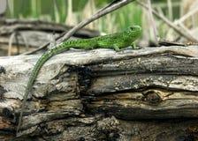 绿蜥蜴结构树 免版税库存图片