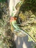 蜥蜴(热带) 免版税图库摄影