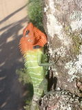 蜥蜴(热带) 库存图片