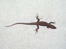 蜥蜴爬行动物动物 免版税库存图片