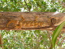 蜥蜴爬行动物树自然动物 库存图片