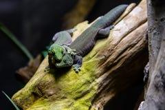 蜥蜴爱 免版税库存照片