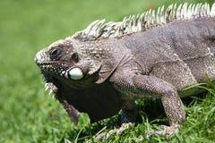 蜥蜴特写镜头 免版税库存图片