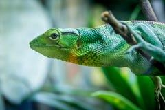 绿蜥蜴-贝特霍尔德` s布什Anole Polychrus gutturosus 库存图片