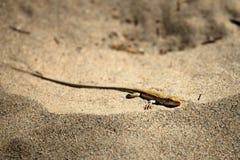 蜥蜴的沙漠 库存照片