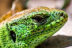 蜥蜴的头 免版税图库摄影