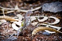蜥蜴盯梢了斑马 库存图片