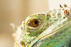 蜥蜴眼睛的特写镜头视图 免版税图库摄影