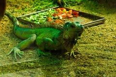 蜥蜴说笑话者 免版税库存图片