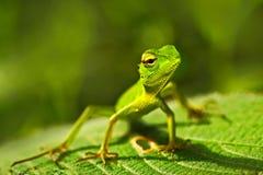 绿蜥蜴 美丽的动物在自然栖所 从深绿色庭院蜥蜴, Calotes calotes,细节眼睛portrai的蜥蜴 免版税库存照片