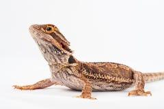 蜥蜴背景有胡子的一白色 免版税库存照片