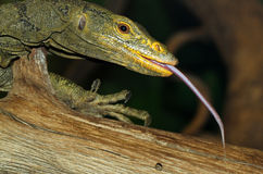 蜥蜴舌头 库存图片