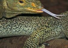 蜥蜴舌头 图库摄影