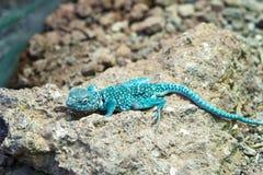 蜥蜴蓝色岩石 免版税图库摄影