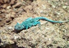 蜥蜴蓝色岩石 免版税库存图片