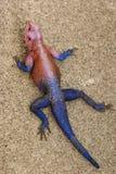 蜥蜴蜥蜴 免版税库存照片