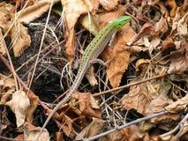 绿蜥蜴(蝎虎座)在干燥叶子和棍子 免版税图库摄影
