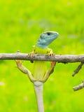 蜥蜴蝎虎座viridis 图库摄影