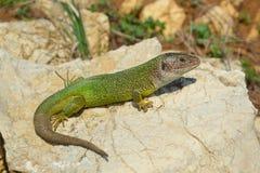 绿蜥蜴蝎虎座viridis 库存照片