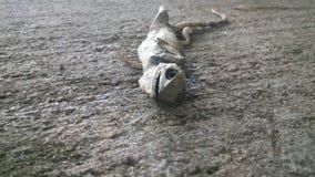 蜥蜴身体 库存图片