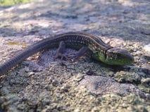 蜥蜴遇见微笑 免版税库存照片