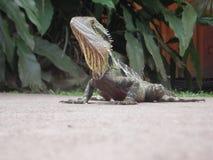 蜥蜴面孔澳大利亚 免版税库存照片