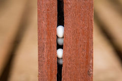 蜥蜴鸡蛋 免版税图库摄影
