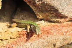 绿蜥蜴,蝎虎座viridis 免版税库存图片